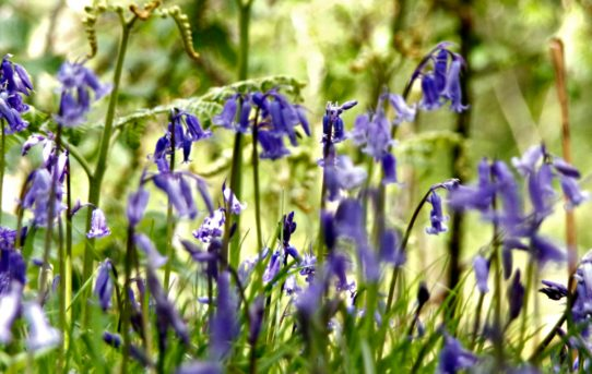 Bluebells at Aber Falls, North Wales